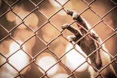 Abstract of imprison from monkey`s hand hanging on cage. Abstract of imprison and sadness from monkey`s paw hanging on cage in warm tone of orange color stock photos
