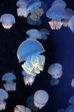 Abstract Jellyfish. Colorful jellyfish Royalty Free Stock Photography