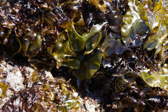 Abstract, kelp leaves Royalty Free Stock Photo