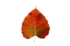 Abstract kleurrijk oranje die blad, op witte achtergrond wordt geïsoleerd Stock Afbeelding