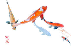 Abstract Koi in Isolation. Koi swimming in an abstract, color adjusted isolation photomanipulation in the Japanese style Stock Photos