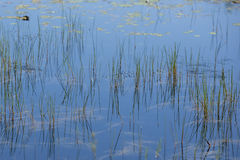 Abstract Landscape Background: Mirrored Reeds On Water Stock Image