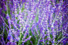 Abstract Lavenders Stock Photography