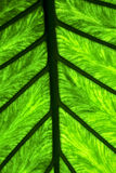 Abstract leaf and his veins background 4 green  black    in the Royalty Free Stock Photos