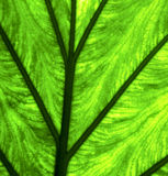 abstract leaf and his veins background  macro close Royalty Free Stock Photography