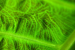 Abstract Leaf Macro Royalty Free Stock Photos