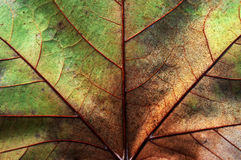 Abstract leaf texture Royalty Free Stock Images