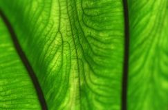 Abstract leaf veins Stock Image