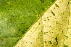 Abstract Leave Texture. Green and Yellow abstract leave texture Stock Photography
