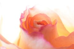 Abstract of light pink rose. Detailed image of light pink rose Royalty Free Stock Image