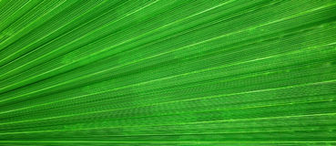 Abstract linear organic background, palm leaf texture. Long banner size Stock Images