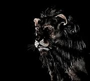 Abstract Lion at black background Stock Photography