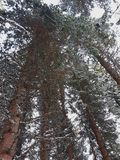 Staring up at red pines. An abstract look of a red pine forest in Voss, Norway during Winter stock photography