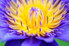 Abstract Lotus. Close up a detail Stock Photography
