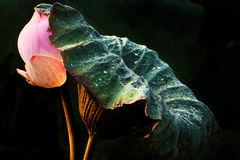 Abstract of lotus leaf protect lotus flower Stock Photo