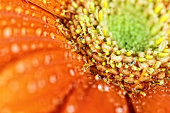 Abstract Macro of an Orange Gerber Daisy Stock Photo