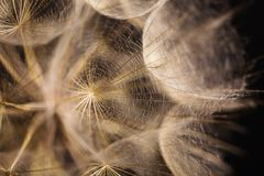 Abstract macro photo of a dandelion. On black background Royalty Free Stock Photos