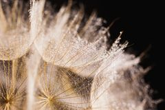 Abstract macro photo of a dandelion with water drops on a black background. Stock Image