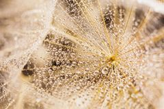 Abstract macro photo of a  white dandelion. Abstract macro photo of a dandelion with water drops on a black background. Rain drops on a spider web Stock Photography