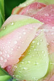 Abstract Macro of a Pink Angelique Tulip. Pink Angelique Tulip macro abstract with water droplets on the petals. Extreme shallow depth of field Stock Image
