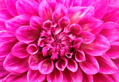 Abstract macro of pink dahlia daisy flower with lovely petals Stock Photos