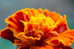 Abstract macro shot of the flower. Macro shot of flower with petals with pestle and stamens visible Stock Photo