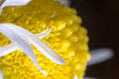 Abstract macro shot of the flower. Macro shot of flower with petals with pestle and stames visible Stock Images