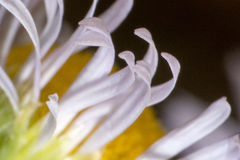 Abstract macro shot of the flower. Macro shot of flower with petals with pestle and stames visible Royalty Free Stock Photos