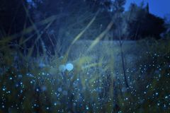 Abstract and magical photo of tall grass with Firefly flying in the night forest. Fairy tale concept royalty free illustration