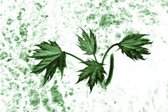 Abstract maple leaves Royalty Free Stock Photo