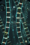 Abstract micrograph of algae filaments from a pond. Dark, murky image of filamentous algae glowing like rungs on a ladder, in an abstract micrograph at 100x Stock Image
