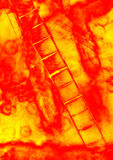 Abstract micrograph of digitally altered algae from a pond. Bright, vibrant red and yellow image of filamentous algae glowing like rungs on a ladder, in an Stock Images