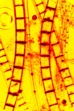 Abstract micrograph of digitally altered algae from a pond. Bright, vibrant yellow image of filamentous algae glowing red like rungs on a ladder, in an abstract Stock Images