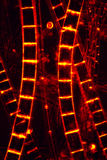 Abstract micrograph of digitally altered algae from a pond. Dark image of filamentous algae glowing red like rungs on a ladder, in an abstract micrograph at Royalty Free Stock Photos