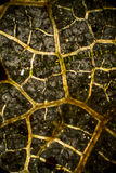 Abstract micrograph of veins from a dead leaf. Dark gray and gold network of veins of a dead leaf, in an abstract micrograph at 40x with polarization Stock Images