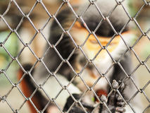 Abstract ; monkey in the cage. While walking in the zoo nowadays, the bad moment is seeing the animals living sadly in the cage Royalty Free Stock Photos