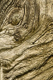 Abstract monster face of Dried out tree trunk Royalty Free Stock Image