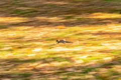 Blur of fast moving Eastern Grey Squirrel stock image