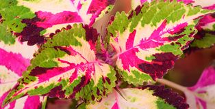 Abstract Multicolor Leaves Nature Background - Hybrid Coleus Blumei - Plectranthus Scutellarioides. This is an abstract nature background containing multicolor Royalty Free Stock Images