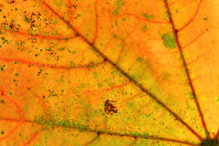 Abstract multicolored autumn leaf Stock Photos
