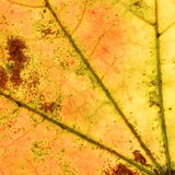 Abstract multicolored autumn leaf macro Royalty Free Stock Photography