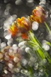 Abstract multy colored red and yellow tulips in a reflection of. Broken mirror with focus on the flowers Royalty Free Stock Image