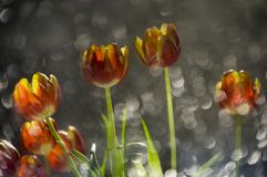 Abstract multy colored red and yellow tulips in a reflection of. Broken mirror with focus on the flowers Stock Image