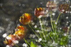 Abstract multy colored red and yellow tulips in a reflection of. Broken mirror with focus on the flowers Stock Photo
