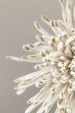 Abstract mum flower petals Stock Image