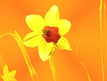 Abstract Narcissus Stock Photo