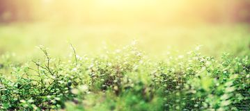 Abstract natural background with light bokeh and leaks effect. Grass in forest. Summer concept. Copy space. Banner. Soft. Focus royalty free stock photo