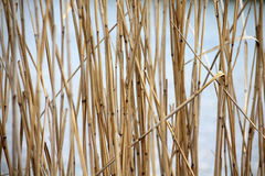 Abstract natural background: reed Royalty Free Stock Photo