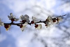 Abstract Natural Backgrounds With Blossom Delicate Apricot Flowers stock photography