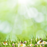 Abstract natural landscape with beauty daisy flowers Royalty Free Stock Photo
